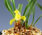 황화소심(봉황소)4촉 꽃1경
