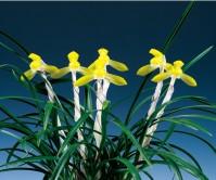 황화(황연)20촉이상꽃5경
