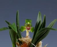 단엽꽃1경