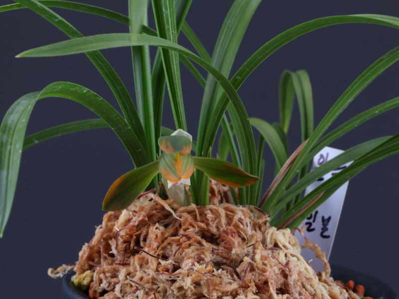 일본춘란 복색화 6촉꽃1경