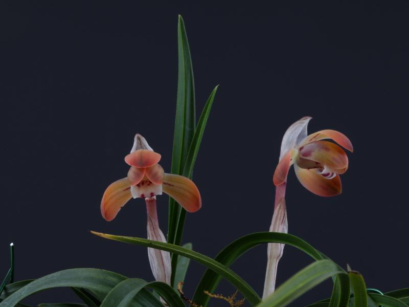일본 홍화 (소춘)7촉 꽃 2경