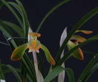 일본춘란 ( 복색화 ) 꽃 2경