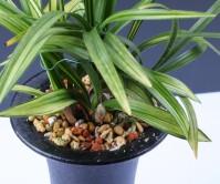 일본춘란(질부금)8촉에 꽃 3경